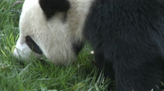 Giant panda, Chengdu, China, close-up - stock footage