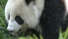 Giant panda with flies, close-up, China - stock footage