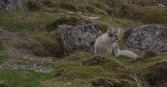 Arctic Fox Kit Explores the Rocky Crevices Of An Arctic Island Stock Footage