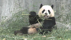 Giant panda relaxing & eating, China - stock footage