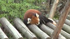 Red panda sleeping, Chengdu, China Stock Footage