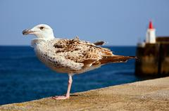 Heering gull perched on wall - stock photo