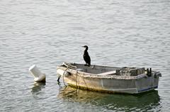 Great Cormorant on boat - stock photo