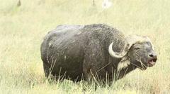 Buffalo eating grass, Kenya Stock Footage