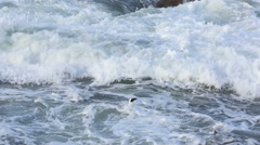 African penguins swimming back to shore through surf Stock Footage