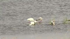 African Spoonbill in Lake Nakuru, Kenya Stock Footage