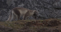 Arctic Fox Kits Frolic and Play - 03 Stock Footage