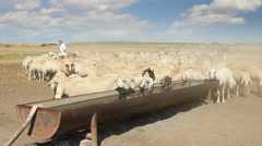 Sheeps on the watering place Stock Footage