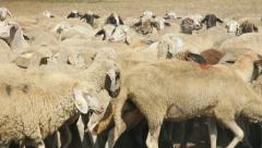 Herd of sheep on pasture Stock Footage