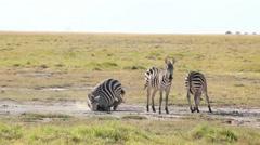 Zebras dust bathing, Amboseli park, Kenya Stock Footage