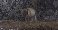 Slow Motion - Arctic Fox Kits Wrestling and Playing Stock Footage
