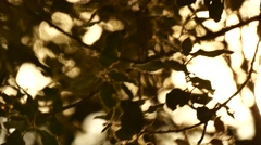 Olive trees detail golden hours movement wind Stock Footage