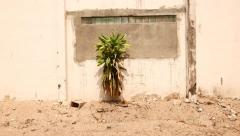 Single tropical plant under sunlight against white wall, sandy ground Stock Footage