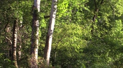 Sun shines on sycamore trees Stock Footage