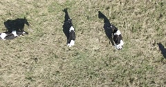 Aerial drone scene of black and white cows eating in the field. Stock Footage