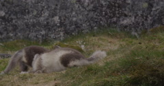 Slow Motion - Arctic Fox Kits Biting and Fighting Stock Footage