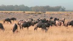 Wildebeests in Amboseli Park, Kenya Stock Footage