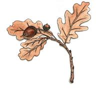 Oak branch with leaves and acorns Stock Illustration