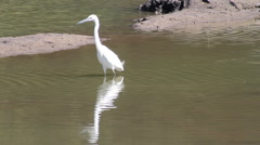 Great Egret in shallow water of tropical grassland Stock Footage