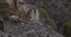 Arctic Fox Kits - Slow Motion Playing Behind Rocks Stock Footage