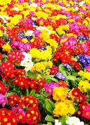 Primrose (Primula vulgaris) Stock Photos