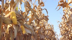 Maize ear on stalk in corn field - stock footage