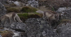 Arctic Fox Kits Frolic and Play - 02 Stock Footage