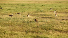 Spotted Hyena, Amboseli Park, Kenya Stock Footage