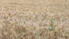 Stock Video Footage of barley field in summer, Hordeum vulgare
