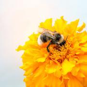 Honeybee and yellow flower head Stock Photos