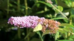 Butterfly brimstone on purple lilac flower, Gonepteryx rhamni Stock Footage