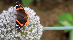 Butterfly Admiral and beetle on Allium buds - stock footage