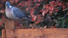 Dove sitting on wooden post and looking around Stock Footage