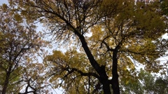 4K Beautiful tree large crown yellow brown leaf autumn foliage forest romantic  Stock Footage