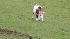 Goat brown white on meadow Stock Footage