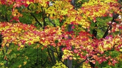 Breezy Fall Color Loop Stock Footage