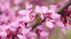 Stock Video Footage of Bee on Flower 6