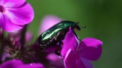 Big green bug on pink flowers Stock Footage