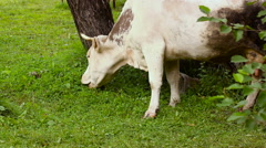 cow eat green grass on meadow - stock footage