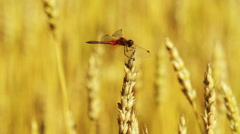 Dragonfly flies and sits on the ear of wheat Stock Footage