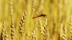 Dragonfly sitting on a wheat ear Stock Footage
