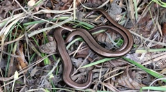 2 Slow Worms (Anguis fragilis) Legless Lizard Stock Footage