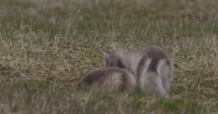 Two Arctic Fox Kits Digging and Playing Stock Footage