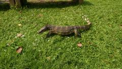 Water Monitor Lizard walk on grass, sniff the area by split tongue Stock Footage
