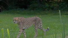 A Cheetah  (Acinonyx jubatus) walk the shady forest boundary. Stock Footage