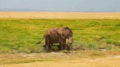 Elephant taking mud bath in Amboseli Park, Kenya Stock Footage
