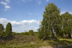 Luneburg Heath - Landscape with birch tree Stock Photos
