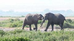 Elephants fighting in Amboseli Park, Kenya Stock Footage