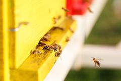 Domesticated honeybees in flight, returning to their beehive - stock photo