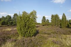 Luneburg Heath - Heathland with juniper - stock photo